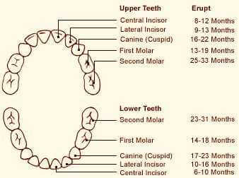 Baby Primary Teeth Chart